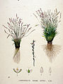 Chamagrostis minima — Flora Batava — Volume v20.jpg