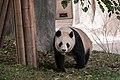 Chengdu Sichuan China Panda-breeding-and-research-center-02.jpg
