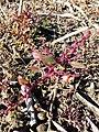 Chenopodium chenopodioides sl3.jpg