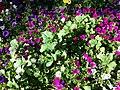 Chenopodium murale sl33.jpg