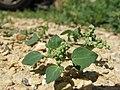 Chenopodium vulvaria plant (7).jpg