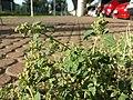 Chenopodium vulvaria sl6.jpg