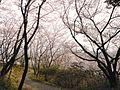 Cherry blossom trees in Kinryū Park Saga 2016 02.JPG