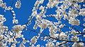 Cherry blossoms against sky.jpg