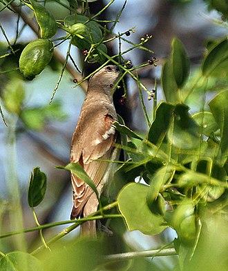 Yellow-throated sparrow - Feeding, at Keoladeo National Park