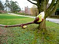 Chestnut bud 23.03.10 - geograph.org.uk - 1769249.jpg