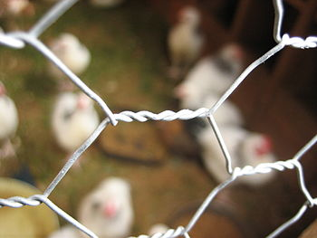 Close-up of chicken wire used in a chicken coop.