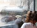 Child at sea otter exhibit (15176276489).jpg