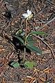 Chimaphila umbellata 0342.JPG