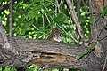 Chipmunk peering at us from afar (20742992792).jpg