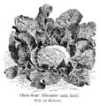 Chou-fleur Alleaume nain hâtif Vilmorin-Andrieux 1904.png