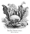 Chou-fleur demi-dur de Paris Vilmorin-Andrieux 1904.png