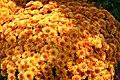 Chrysanthemum Miranda 1zz.jpg