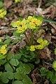Chrysosplenium alternifolium, Labergement - img 20846.jpg