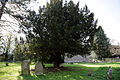 Church of St Mary and St Christopher, Panfield - churchyard yew tree.jpg