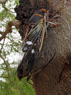 <i>Diceroprocta semicincta</i> Species of true bug