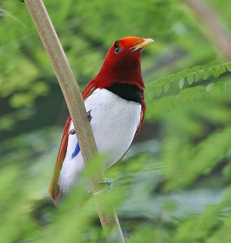 Australia (continent) - The king bird-of-paradise is one of over 300 bird species in West Papua.