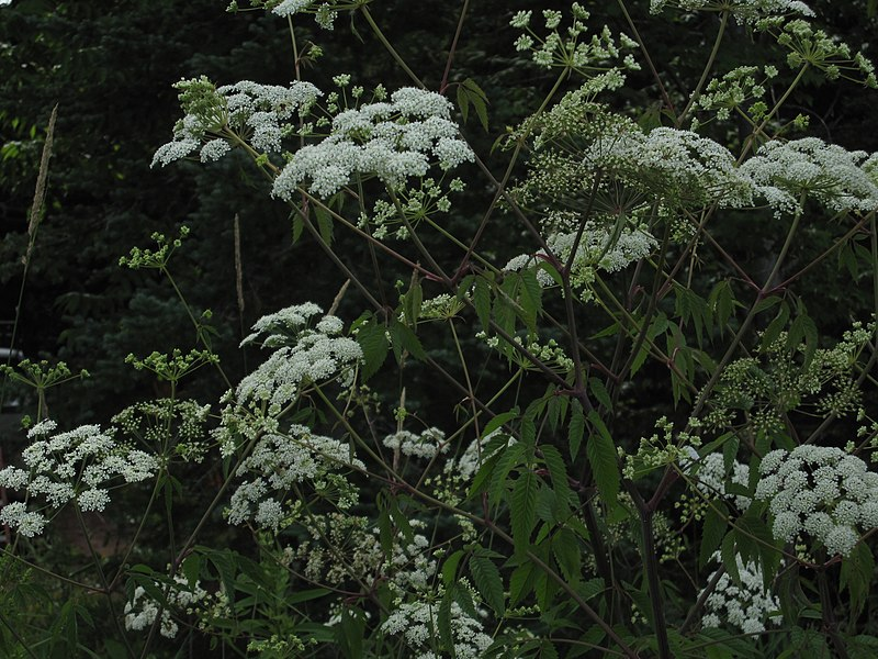File:Cicuta maculata.jpg