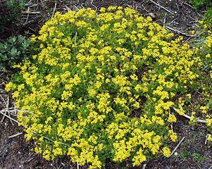 Cineraria - Cineraria geifolia