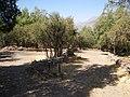 Cipreses (Tricahues). - panoramio (4).jpg