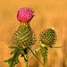 Cirsium vulgare - Keila1.jpg