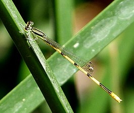 Citrine Forktail. Ischnura hastata. Male - Flickr - gailhampshire.jpg