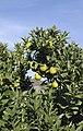 Citrus-sinensis-fruto.jpg