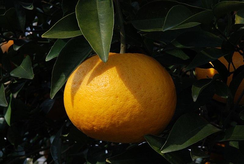 Datei:Citrus kawanonatsudaidai fruit.jpg