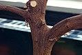Citrus sinensis Navel 0zz.jpg