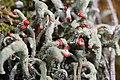 Cladonia sp. (35694610822).jpg