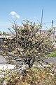 Claret-Juniperus oxycedrus-20160615.jpg
