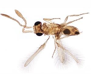 Mymarommatidae - Holotype of Cleruchus musangae