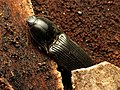 Click Beetle (33755184133).jpg