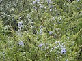 Cliff Shelf Nature Trail PA090095 Juniper berries.JPG