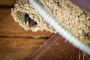 image of Cliff Swallow (Petrochelidon pyrrhonota) (18801045303)