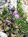 Clinopodium alpinum subsp. alpinum sl1.jpg