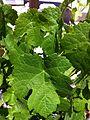 Close up of Marsanne leaf.jpg