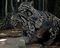 Clouded Leopard Piggyback Ride NashvilleZoo.jpg