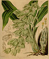 Clowesia russelliana (as Catasetum russellianum) - Curtis' 66 (N.S. 13) pl. 3777 (1840).jpg