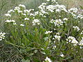 Cochlearia anglica baie-somme-nord-la-maye 80 17042002 5.JPG