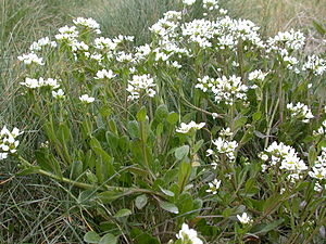 Englisches Löffelkraut (Cochlearia anglica)