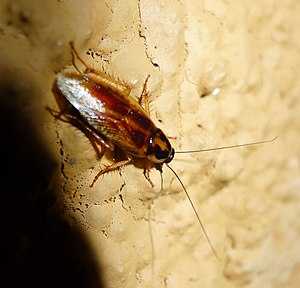 Cockroach. Dictyoptera - Flickr - gailhampshire.jpg