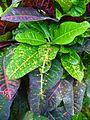 Codiaeum variegatum 01.JPG