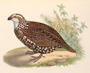 Spot-bellied bobwhite - Image: Colinus leucopogon 1849