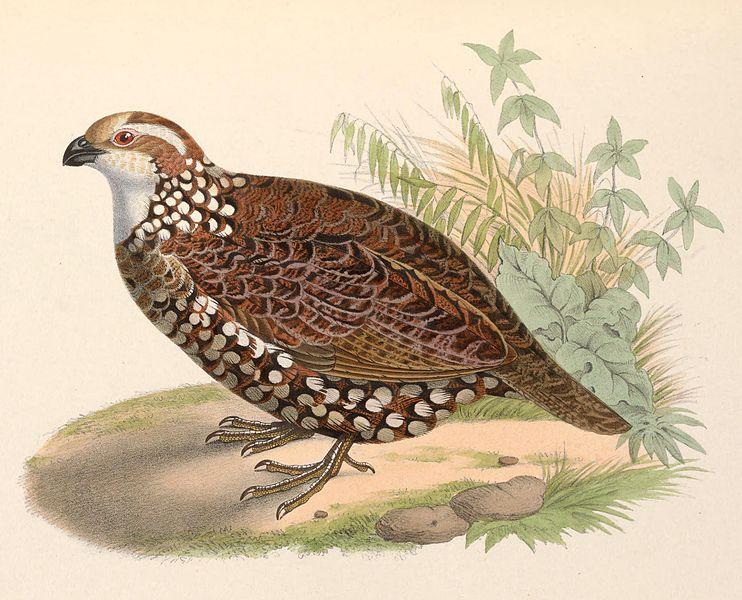 File:Colinus leucopogon 1849.jpg