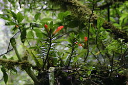 meaning of columnea
