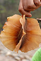 Combretum spec Bolivia.jpg
