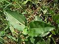 Commelina benghalensis Nepal 01.JPG