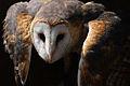 Common Barn Owl.jpg