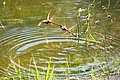 Common Darters mating laying (49393323553).jpg